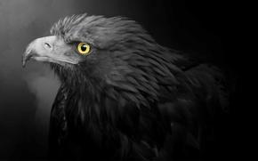 Picture predator, beak, Golden eagle, Golden Eagle