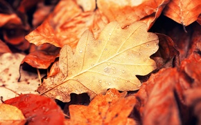 Picture autumn, leaves, drops, macro, nature, leaf, yellow, orange, Burgundy