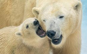 Wallpaper bears, bear, polar bears, bear, polar bears