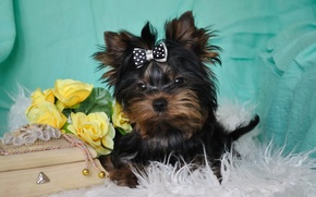 Picture animals, look, photo, dog, box, bow, Yorkshire Terrier