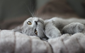 Picture cat, pose, kitty, grey, legs, blanket, muzzle, lies, British, smoky