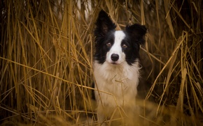 Picture look, dog, reed