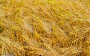 Picture nature, wheat, farm