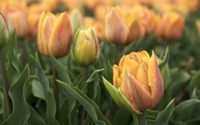 Picture flowers, spring, tulips, flowerbed