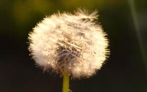 Picture summer, dandelion, the sun's rays