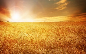 Picture wheat, field, sunset, nature, field, nature, sunset, wheat