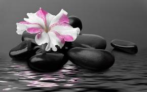 Picture water, flower, water, pebbles, stones, flower, Petunia, Petunia