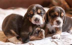 Picture puppies, comfort, house, dogs, beagles