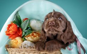 Wallpaper flowers, basket, puppy, Spaniel