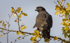 Picture autumn, bird, Red tailed Hawk