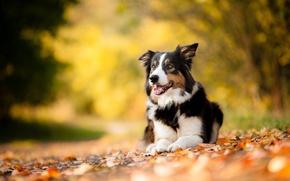 Picture autumn, leaves, each, dog, pet