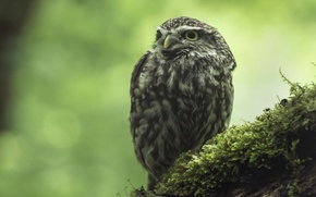 Picture owl, moss, The little owl