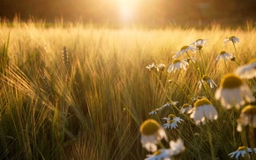 Picture field, the sun, light, sunset, rye, chamomile