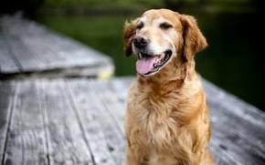 Picture background, dog, Retriever