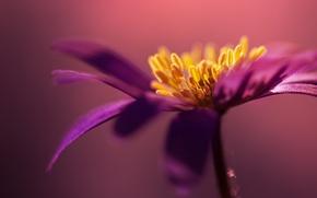 Wallpaper flower, macro, lilac, petals