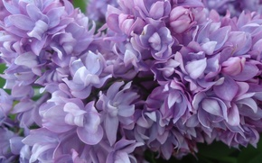 Picture purple, Flowers, lilac