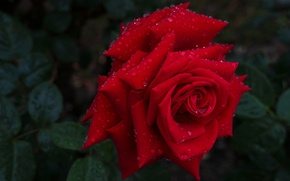 Picture drops, macro, rose, Bud, red rose
