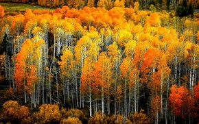 Picture autumn, leaves, birch grove