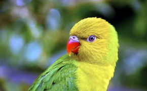 Picture nature, bird, parrot