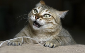 Picture cat, face, fangs, angry