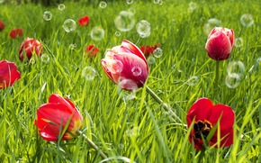 Picture greens, field, grass, flowers, red, background, widescreen, Wallpaper, meadow, bubbles, tulips, wallpaper, flowers, widescreen, background, …