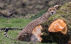 Picture predator, Cheetah, log, wild cat