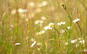 Picture summer, grass, Daisy, Sunny