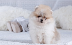 Picture fluffy, bed, puppy, Spitz