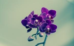 Picture flower, petals, violet, buds