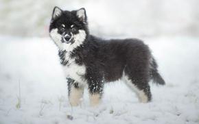 Picture winter, dog, puppy, Finnish, Lapp, Laplander husky, Finnish lapphund