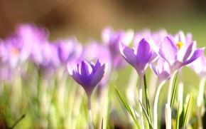 Wallpaper bokeh, crocuses, spring, primrose