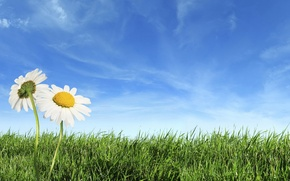 Wallpaper GRASS, HORIZON, The SKY, FIELD, CLOUDS, CHAMOMILE, GREEN