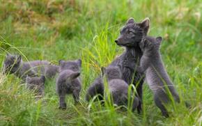 Picture in the summer, Fox, Finland, polar Fox, Lapland, simeystvo
