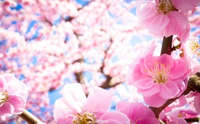 Picture macro, flowers, branches, nature, tree, spring, petals, pink, flowering, drain