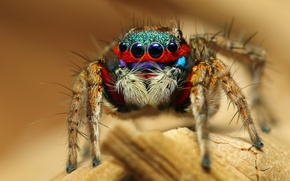Picture macro, spider, insect, Colorful Jumping Spider