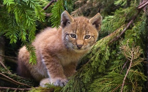 Wallpaper cat, lynx, forest, kitty