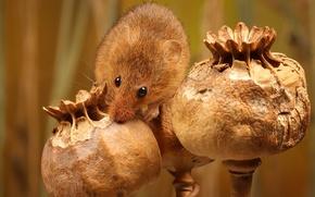 Picture nature, Maki, mouse