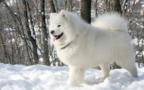 Picture language, white, snow, trees, background, dog, Samoyed, Samoyed, The Samoyed
