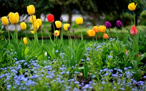 Picture spring, tulips, flowerbed