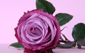 Picture flower, purple, rose, rose, flower, purple, violet
