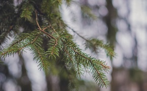 Picture forest, macro, tree, spruce, spring, barb, bokeh, pine