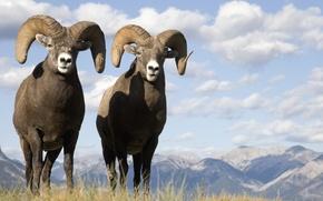 Picture landscape, animal, buffalo