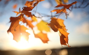 Picture light, the wind, glare, leaves, tree, maple, the sun, the sky, branches, autumn