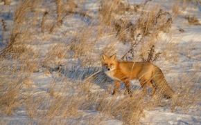 Picture fox, winter, snow, shadow, wildlife, sunligt