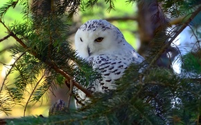 Picture branches, tree, bird, snowy owl