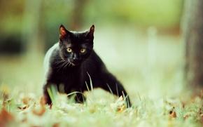 Picture grass, cat, nature, black