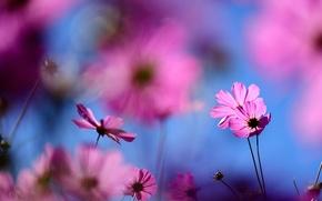 Picture macro, flowers, blur, pink, field, kosmeya