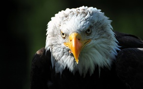 Wallpaper look, bird, predator, head, beak, hawk, Bald eagle