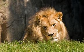 Picture cat, grass, face, the sun, Leo
