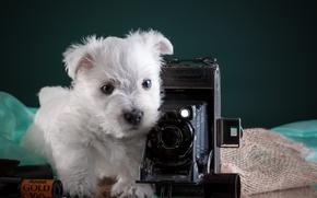 Picture white, the camera, puppy